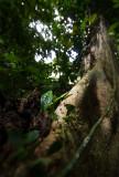 Atta colombica