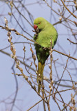 ring necked parakeet.jpg