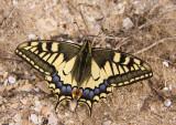 swallowtail 3.jpg