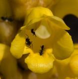Cistanche phelypaea 8.jpg
