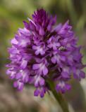 Pyramidal orchid a.jpg