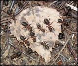 DSCF1301 Myror på löv.jpg