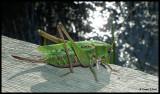 DSCF7174 Gräshoppa.jpg