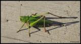 IMG_7489 Gräshoppa vid Igelbäcken.jpg