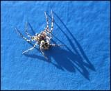 DSCF8803 Spider 27 april 2012.jpg