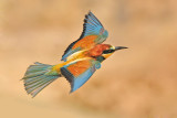 bee_eaters_
