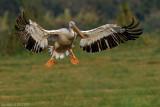 _pelicans_