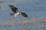 osprey - ùìê.jpg