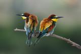 Bee Eaters - שרקרק מצוי