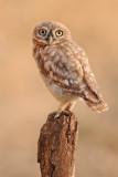 little_owl_