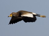 African Wattled Lapwing2.jpg