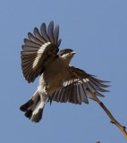 Fiscal Flycatcher.jpg