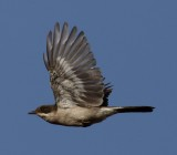Fiscal Flycatcher