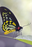 Australian Admiral Butterfly