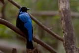 Asian Fairy-bluebird - male -- 2008
