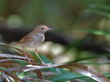 Rufous-tailed Robin - 6