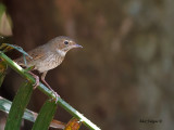 Rufous-tailed Robin - 2