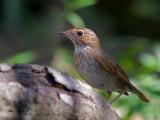 Rufous-tailed Robin - 5