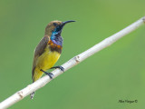 Olive-backed Sunbird -- sp 40