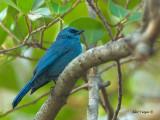 Verditer Flycatcher - female