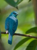 Verditer Flycatcher - female - 2