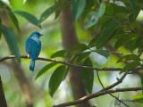 Verditer Flycatcher - female - 3