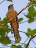 Plaintive Cuckoo - male - 2011