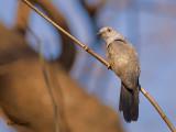 Plaintive Cuckoo - male - 2011 - 2