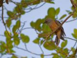 Plaintive Cuckoo - male - 2011 - 3