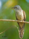 Plaintive Cuckoo - molting - 2011