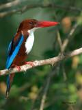 White-throated Kingfisher - 2011