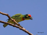Coppersmith Barbet -- Sp 18