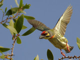 Coppersmith Barbet - 2011