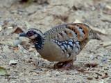 Bar-backed Partridge - 3
