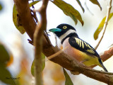Black-and-Yellow Broadbill - sp 319