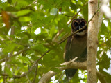 Brown Wood Owl - sp 320