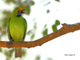 Golden-fronted Leafbird  --  Sp 250