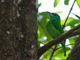 Blue-throated Barbet - sp 322