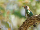 Emerald Cuckoo - female