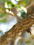 Emerald Cuckoo - female - 2