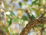 Emerald Cuckoo - female - 2011
