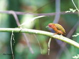 Rufous Piculet - female - 2