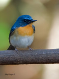 Thikells Blue-Flycatcher - male