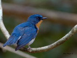 Thikells Blue-Flycatcher - male - 2011