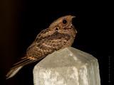 Large-tailed Nightjar - 2011