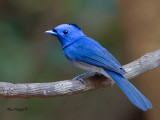 Black-naped Monarch - male