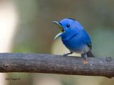 Black-naped Monarch - male - 2011 - Pavarotti