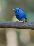Black-naped Monarch - male - 2011 - 2