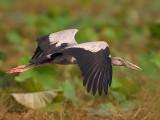 Asian Openbill Stork -- sp 171