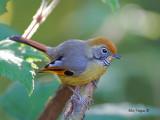 Chestnut-tailed Minla -- sp 83